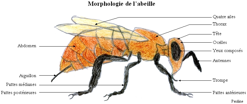 morphologie de l 39 abeille dessin de pauline cliquez pour agrandir. Black Bedroom Furniture Sets. Home Design Ideas